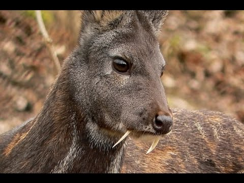 Deer With 'Vampire Fangs' Spotted for First Time in 60 Years