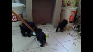 """Miniature Schnauzer Black Arkovari Kennel """"v"""" Litter"""