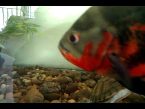 220 gallon fish tank fresh water youtube for 220 gallon fish tank