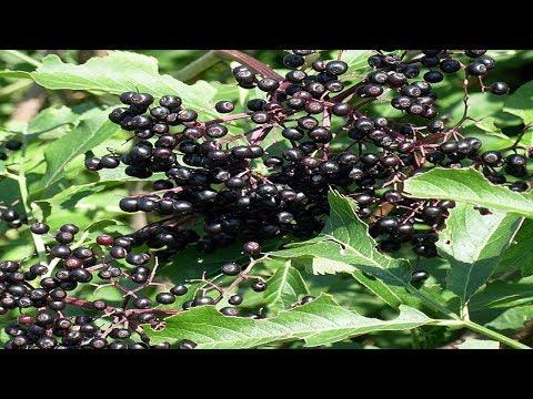 Sauco Negro: Propiedades y Beneficios (Sambucus nigra)