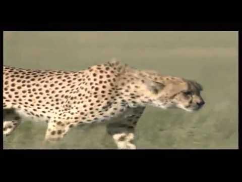 Cheetah Reachind Speeds Of 110kmh Attacking Gazelle