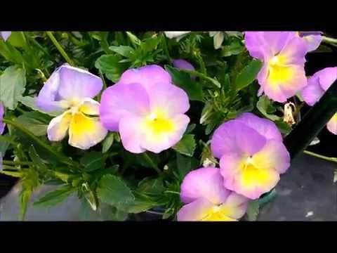 Best Perennials, Viola
