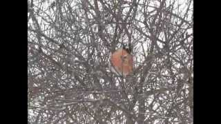 Птицы зимой. Снегири и сирень.AVI(http://italana.ru Птицы зимой. Снегири - как живые новогодние игрушки - на сирени., 2012-06-03T06:43:53.000Z)