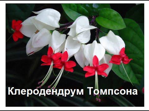 Клеродендрум-фото-уход- мой любимый цветок.