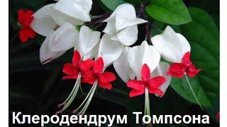 Цветок мадам томпсон фото