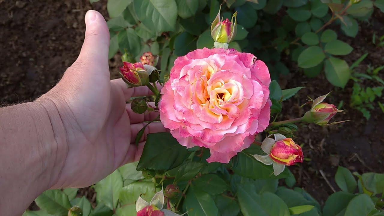Июнь начало цветения роз. Первая подкормка и обработка роз от вредителей и болезней.