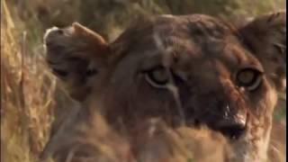 Afrika Vahşi Kuzey Öfkeli Hayat