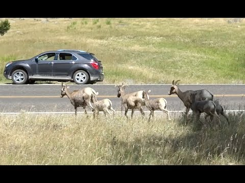 Yellowstone Trip 2015 Part 1. Bighorns and Hot Springs