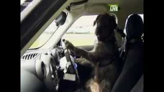 ,Dog driving Car, New Zealand,SPCA