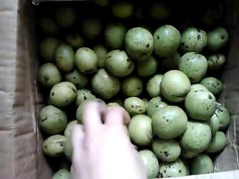 ☆Зеленые грецкие орехи молочной спелости очищают кровь и повышают .