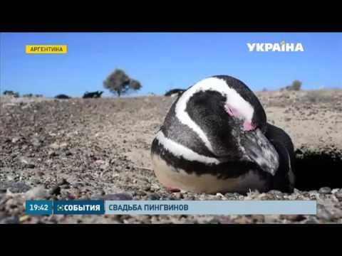 Секс андрея с пингвином