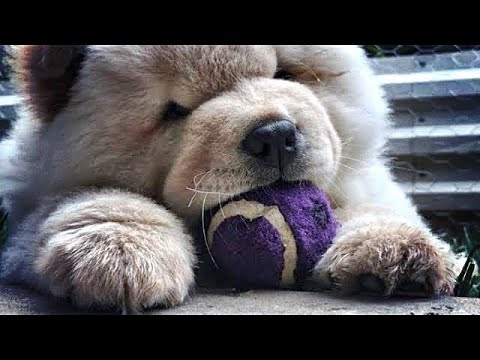 Chow chow puppy playing fetch