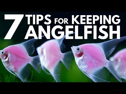 7 Tips For Keeping Angelfish In An Aquarium