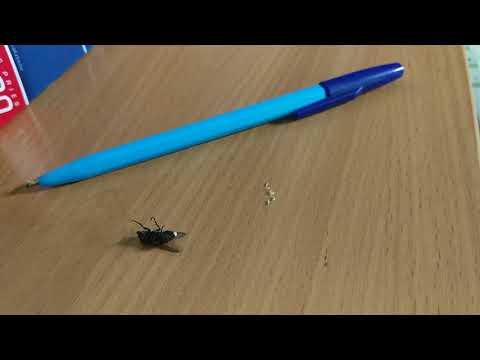 после еб☹️и вылазят Личинки из мухи. Как рожает муха. Принимаем роды у мухи