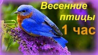 Весенние птицы  Birds Singing Relax