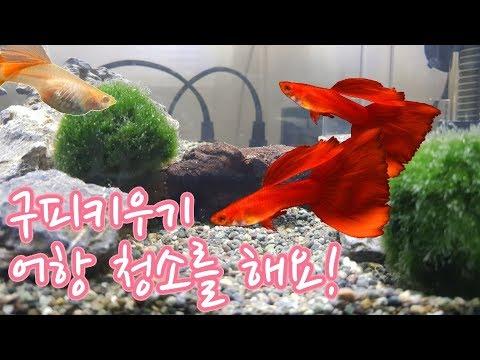 구피키우기 어항 청소를 해요! [guppy / fish / 물