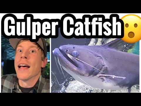 Gulper Catfish Care - Size, Mates, & Feeding