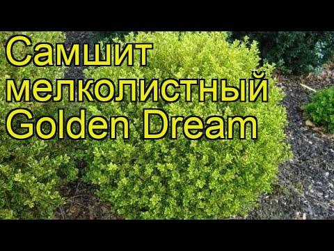 Самшит мелколистный Голден Дрим. Краткий обзор, описание buxus microphylla Golden Dream