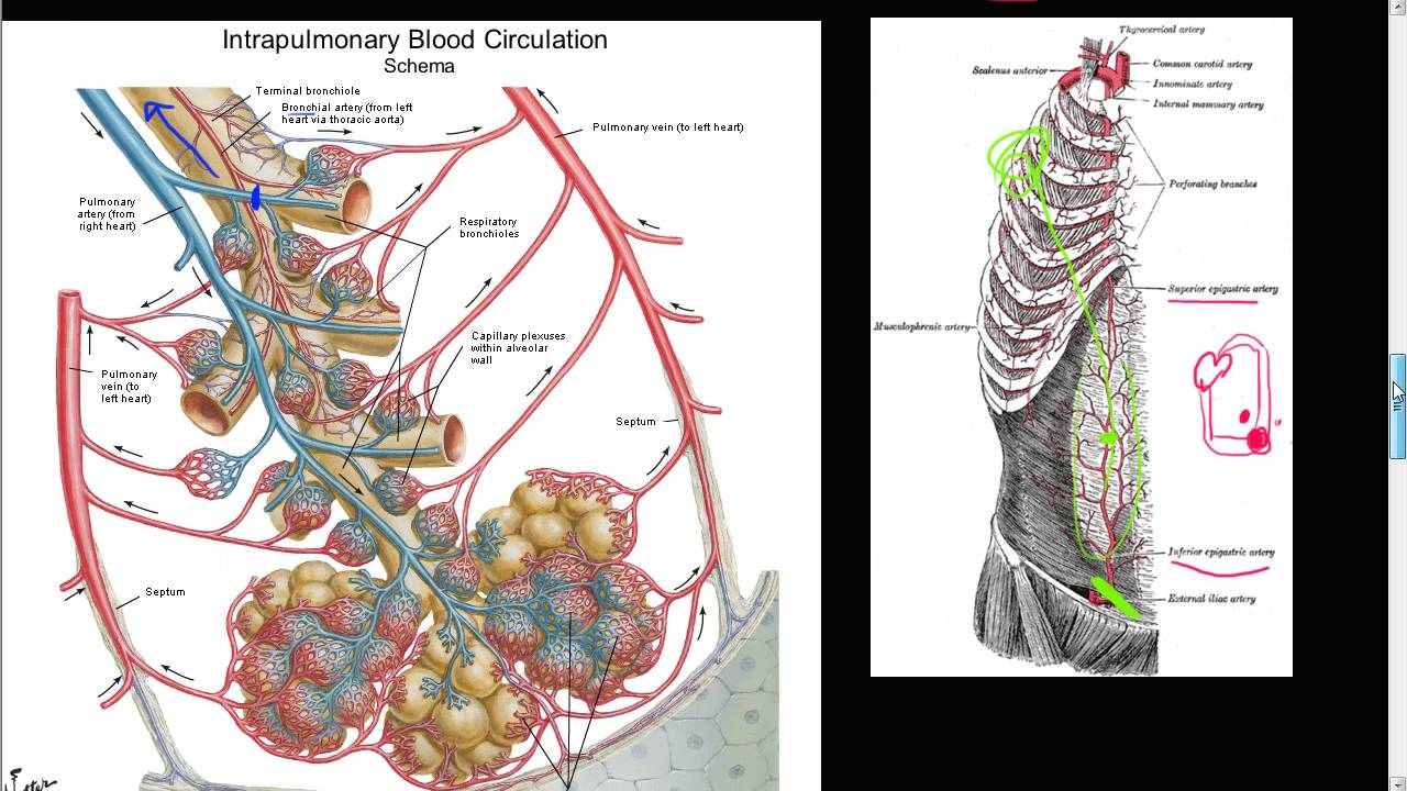 59P - Bronchial artery collateral circulation, Anastomosis, Cor ...