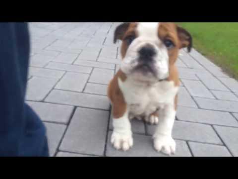 Englische Bulldogge - Spike (4)