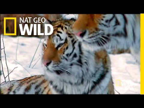 Siberia's Stripes of Death |  Nat Geo Wild