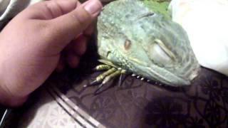 Waking A Sleepy Iguana