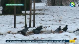 Смотреть видео Нашествие птиц на Петербург .Эфир 21.11.16 онлайн