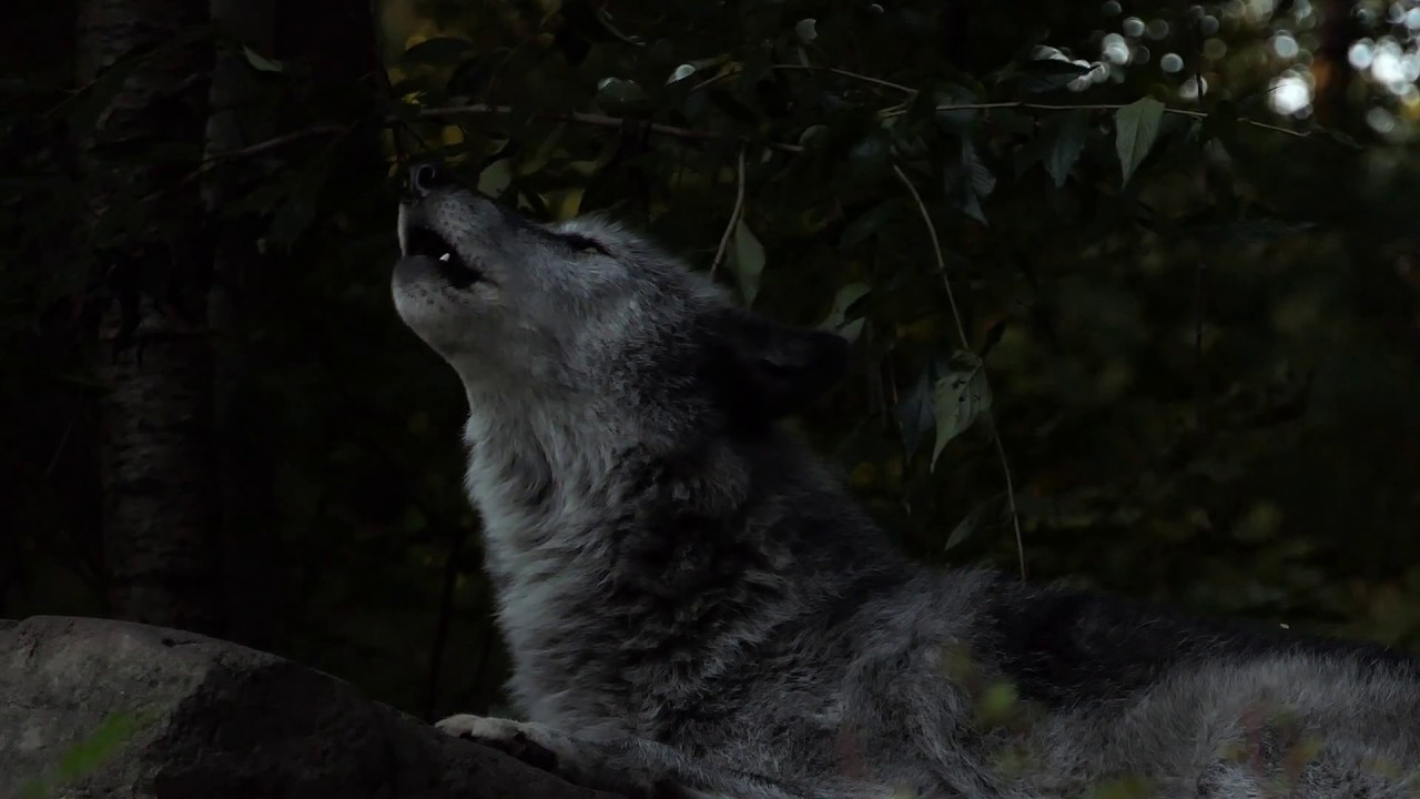 Twenty Five Wolves Howling Youtube