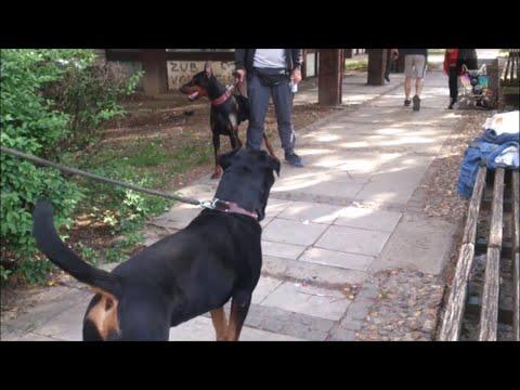 Doberman Pinscher vs Rottweiler - Unusual Encounter