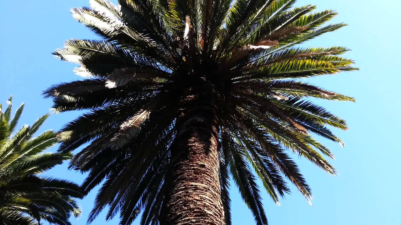 phoenix canariensis canary island date palm tree hd 01 youtube