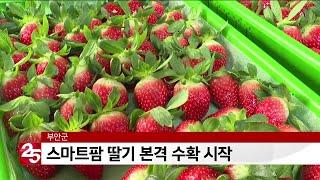 부안군, 스마트팜 딸기 본격 수확 시작