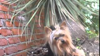 Yorkshire Terrier, Trinity, Yorkshire Terrier, Chanel Bridget