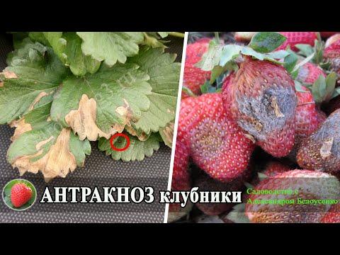 Пятна на листьях клубники Антракноз вызывает гниение ягоды Клубника для начинающих