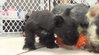 Miniature Schnauzer, Puppies, For, Sale, In, Baltimore, Maryland, Md, Fort Washington, South Laurel,