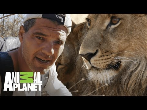 Leones Machos Matan A Crías Para Poder Aparearse | Wild Frank En África | Animal Planet