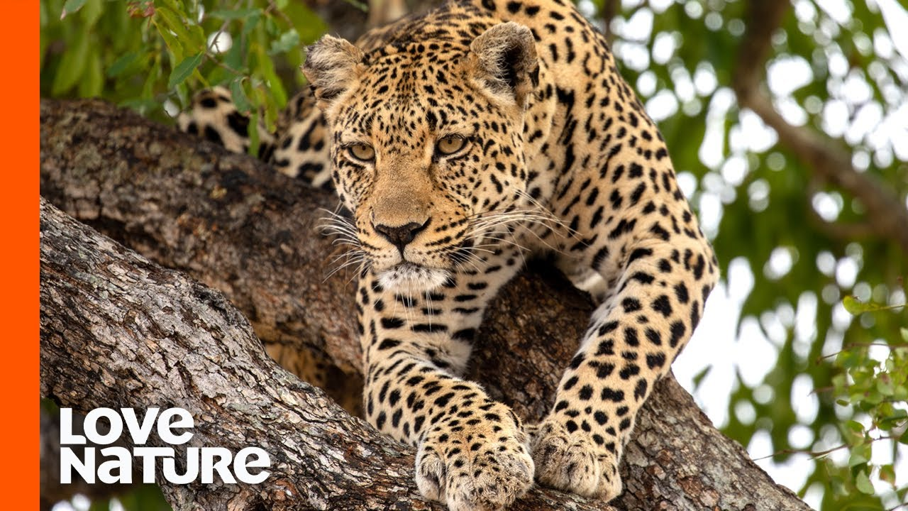 Young Leopard Learns to Hunt Like a Pro