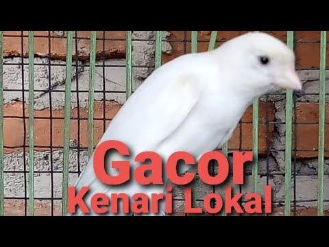 Download Lagu Kenari lokal swara keras pancingan Kenari Muda