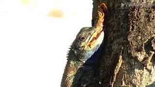 Chameleon Eating Giant Centipede