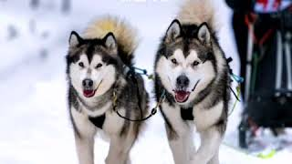 Wallpapers Husky Pupies Dog HD Backgrounds For Android Phone