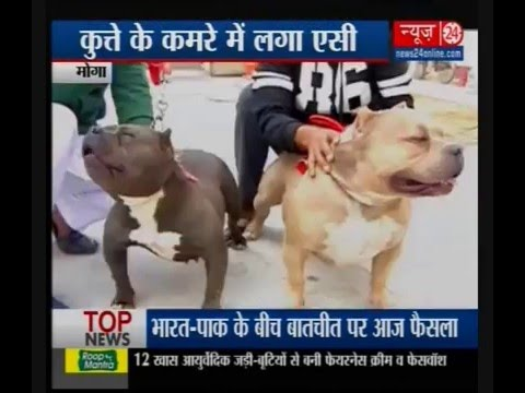 American Bully Dog Of The1 Million Rupees Youtube