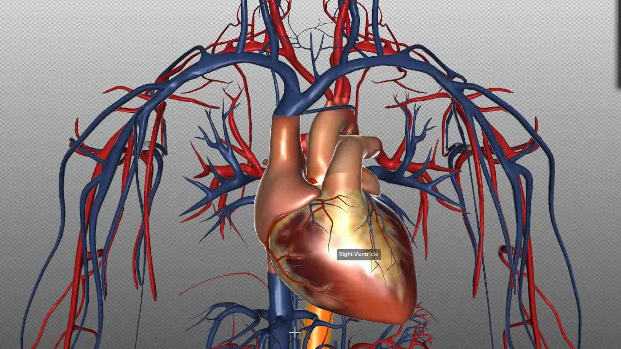 Heart structure and function basics anatomy tutorial youtube ccuart Gallery