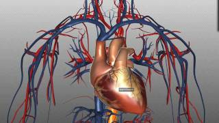 Heart Structure and Function Basics - Anatomy Tutorial