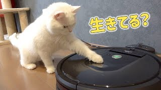 A cat who misunderstands the robot vacuum cleaner as a living thing!