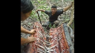 Collecting Bactronophorus thoracites temilok shipworm in Bangka Island