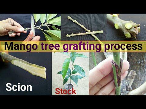 Mango tree grafting | आम की कलम लागाने की