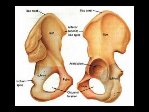 Articulación de la cadera (coxofemoral) - YouTube