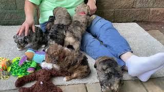 Aspen's Schnoodle Puppies  August 3, 2021
