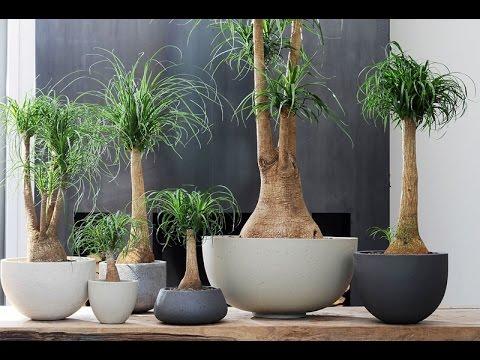 Вопрос: Как называется цветок в виде пальмы и со стволом, как у дерева?