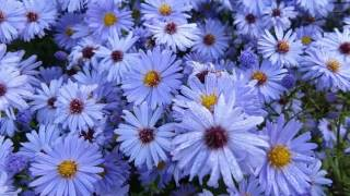 Wedding Ideas Of Blue Asters Flowers   Blue Asters Flowers Romance