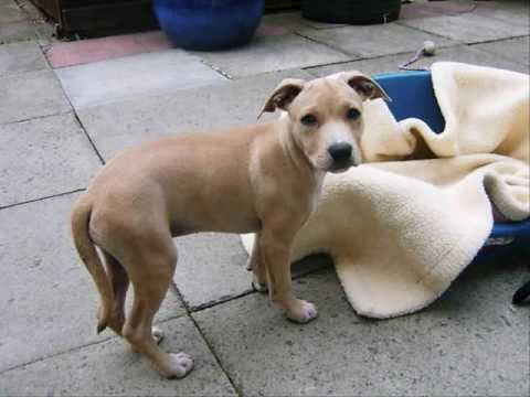 how to train american staffy